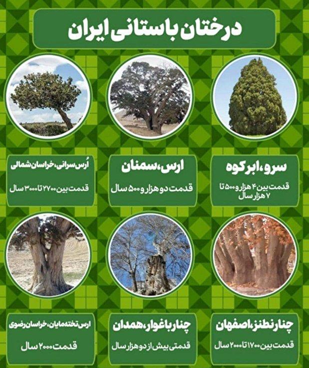 عکس | کهن سال ترین درخت های کشور